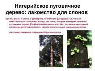 Нигерийское пуговичное дерево: лакомство для слонов Все мы знаем и слона, и д