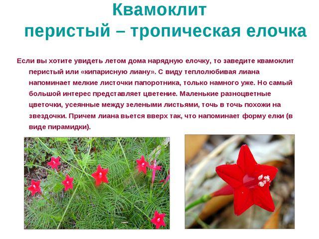 Квамоклит перистый – тропическая елочка Если вы хотите увидеть летом дома нар...