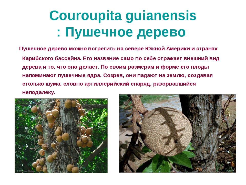 Couroupita guianensis: Пушечное дерево Пушечное дерево можно встретить на сев...