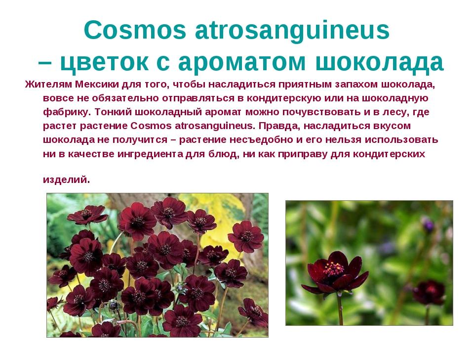 Cosmos atrosanguineus – цветок с ароматом шоколада Жителям Мексики для того,...