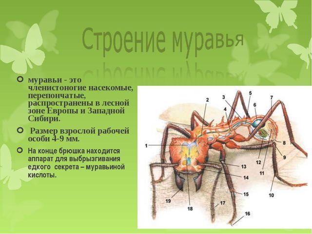 муравьи - это членистоногие насекомые, перепончатые, распространены в лесной...