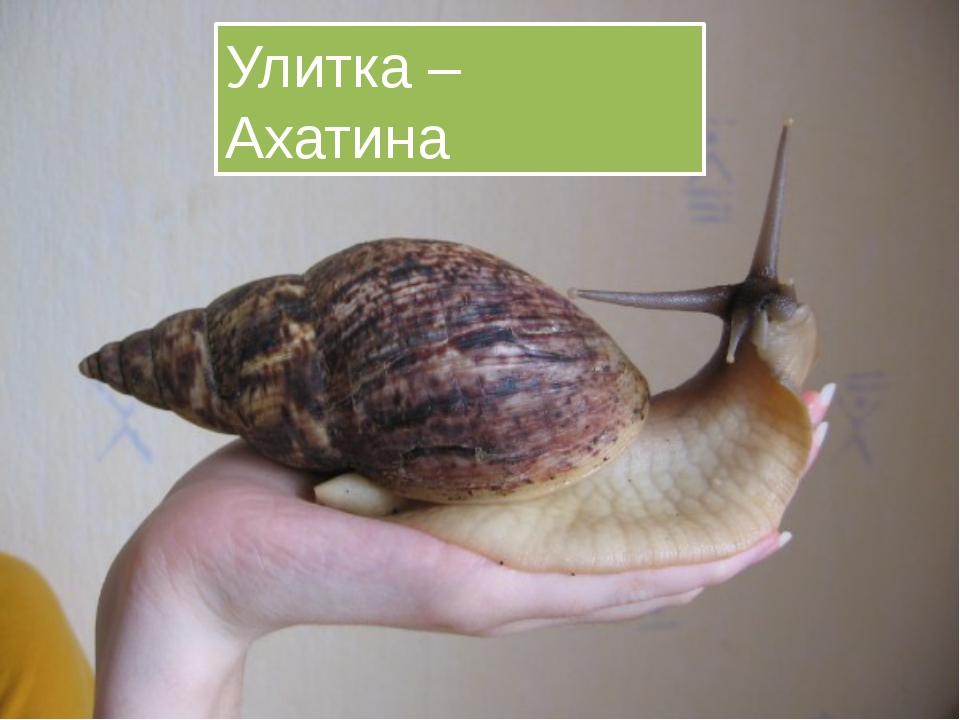Улитка – Ахатина