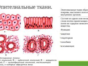 Эпителиальные ткани. Эпителиальные ткани образуют покровы, выстилают полости