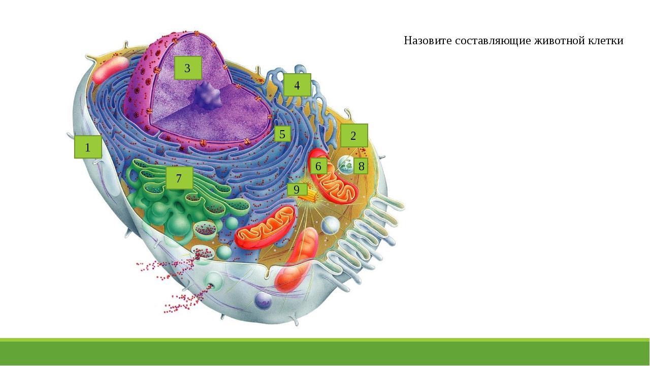 9 8 7 6 5 4 3 2 1 Назовите составляющие животной клетки