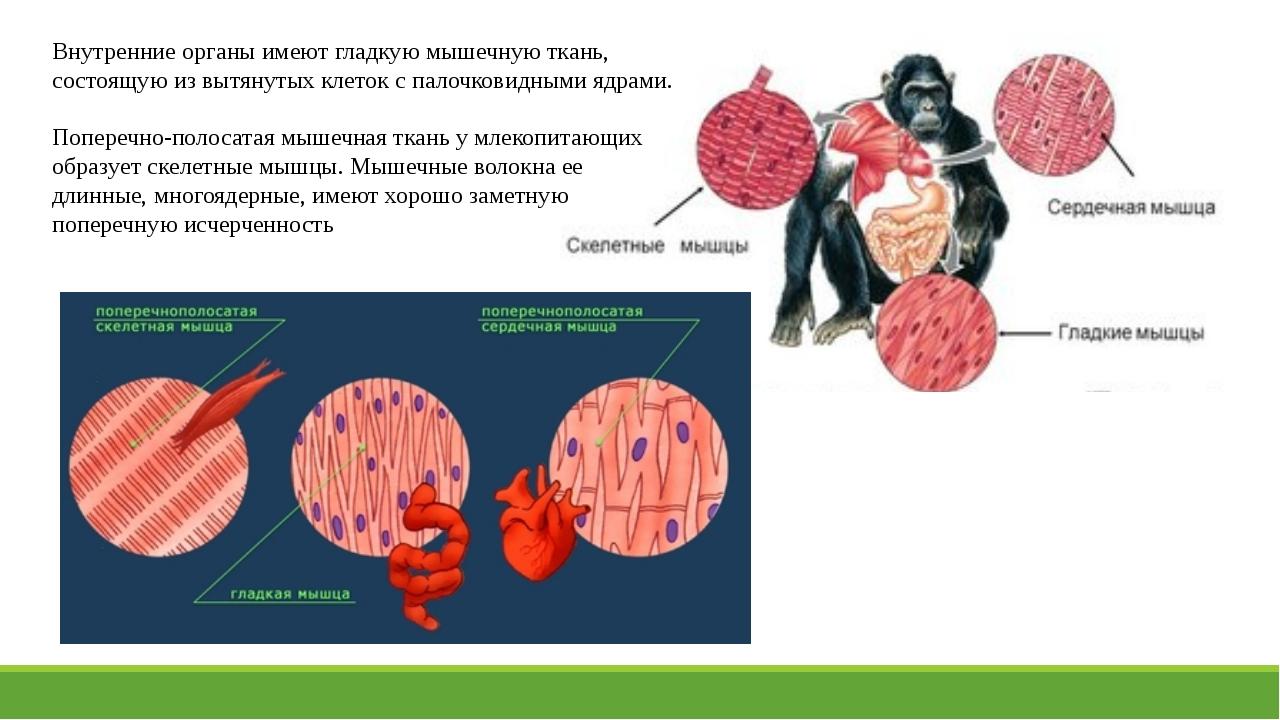Внутренние органы имеют гладкую мышечную ткань, состоящую из вытянутых клеток...