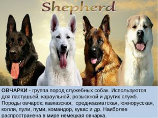 ОВЧАРКИ - группа пород служебных собак. Используются для пастушьей, караульно
