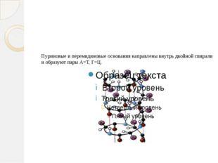 Пуриновые и перемидиновые основания направлены внутрь двойной спирали и образ