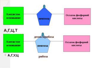 Азотистое основание Остаток фосфорной кислоты пентоза Азотистое основание пен