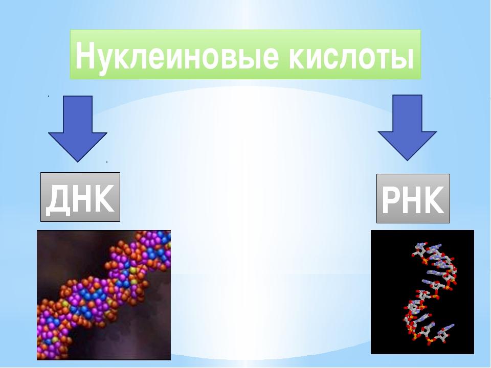 Нуклеиновые кислоты ДНК РНК