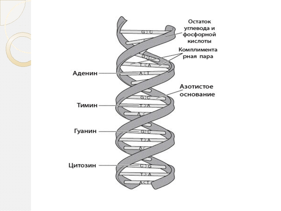 the structure function of dna Functions of dna and summary of structure dna consists of four bases—a, g, c, and t—that are held in linear array by phosphodiester bonds through the 3' and 5' positions of adjacent deoxyribose moieties dna is organized into two strands by the pairing of bases a to t and g to c on complementary strands.