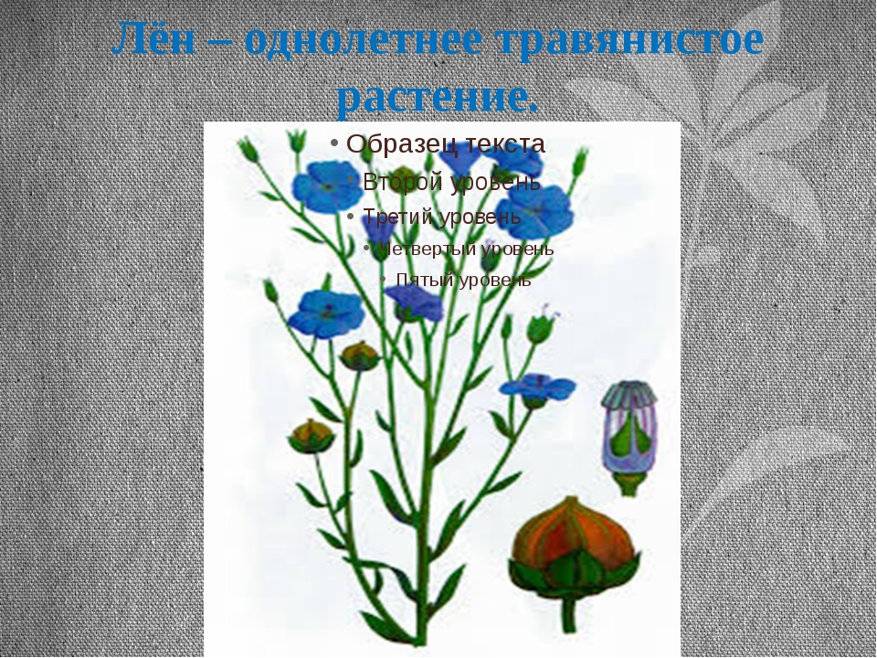 Лён – однолетнее травянистое растение.