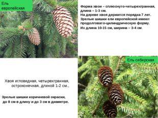 Форма хвои – сплюснуто-четырехгранная, длина – 1-3 см. На дереве хвоя держитс