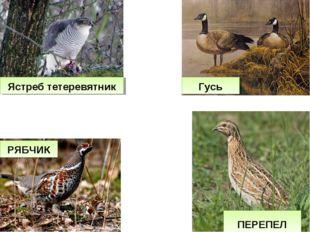 РЯБЧИК ПЕРЕПЕЛ Ястреб тетеревятник Гусь