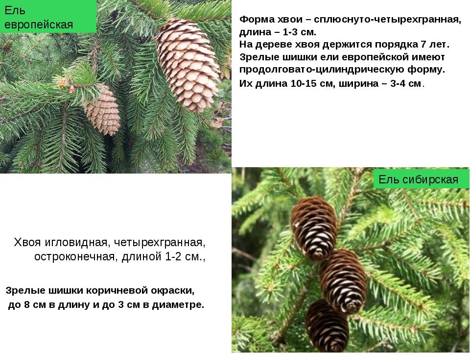 Форма хвои – сплюснуто-четырехгранная, длина – 1-3 см. На дереве хвоя держитс...