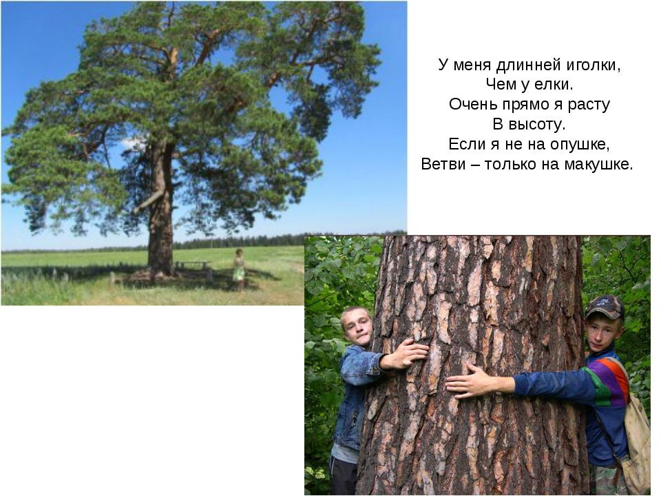 У меня длинней иголки, Чем у елки. Очень прямо я расту В высоту. Если я не на...
