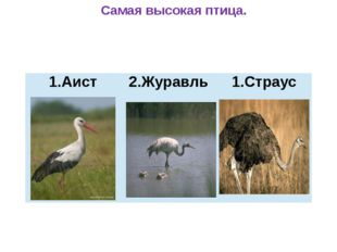 Самая высокая птица. 1.Аист 2.Журавль Страус