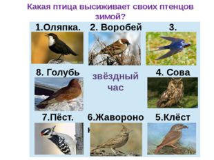 звёздный час Какая птица высиживает своих птенцов зимой? 1.Оляпка. 2. Воробей