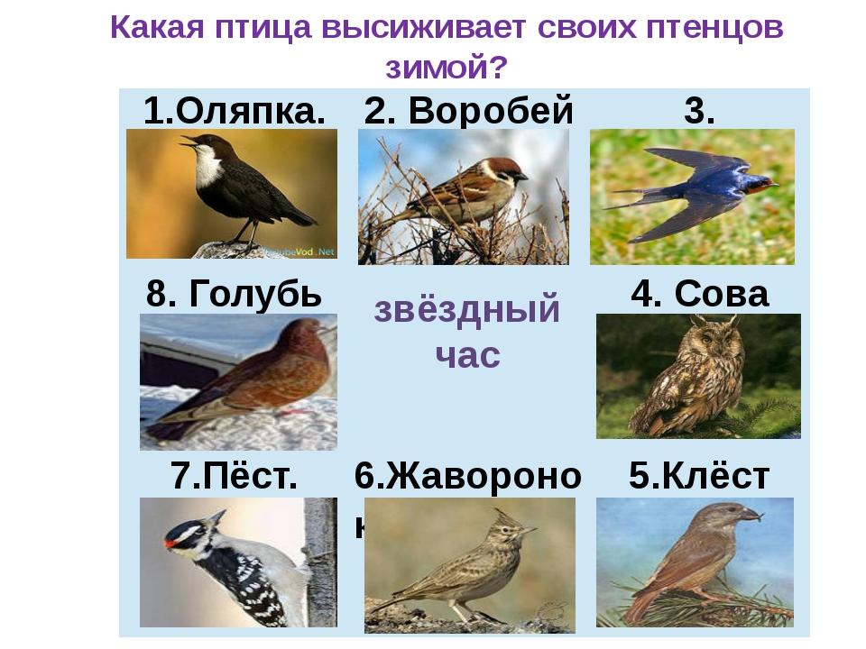 звёздный час Какая птица высиживает своих птенцов зимой? 1.Оляпка. 2. Воробей...