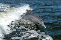 http://upload.wikimedia.org/wikipedia/commons/thumb/a/a6/Bottlenose_Dolphin_KSC04pd0178.jpg/200px-Bottlenose_Dolphin_KSC04pd0178.jpg
