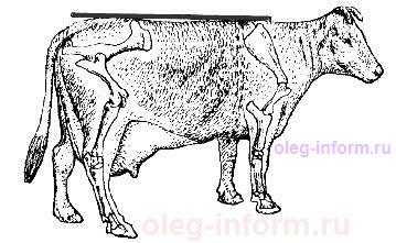 E:\КУРСАЧ\Точки для взятия, промеров по определению живой массы у взрослого скота, по Трухановскому.jpg