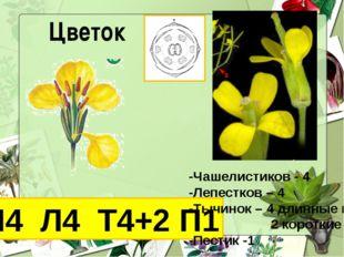 Цветок Ч4 Л4 Т4+2 П1 -Чашелистиков - 4 -Лепестков – 4 -Тычинок – 4 длинные и