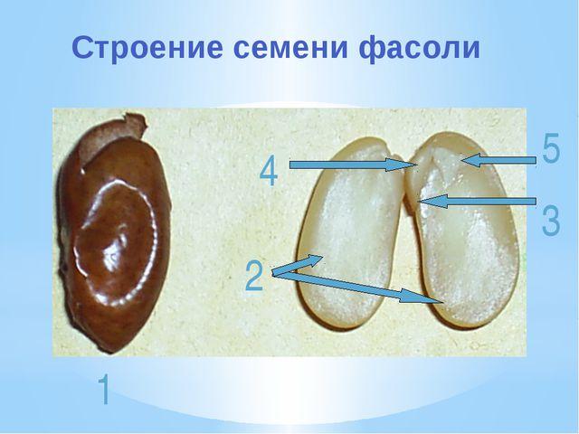 4 2 5 3 1 Строение семени фасоли
