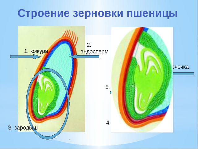 1. кожура 2. эндосперм 3. зародыш 5. стебелёк 4. корешок 6. почечка Строение...