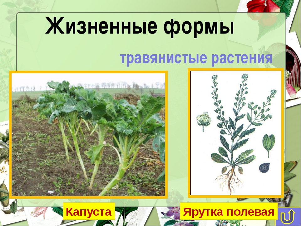 травянистые растения Жизненные формы Капуста Ярутка полевая