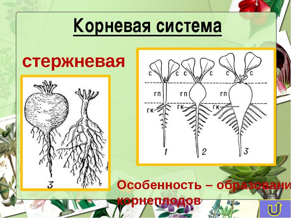 стержневая Особенность – образование корнеплодов Корневая система