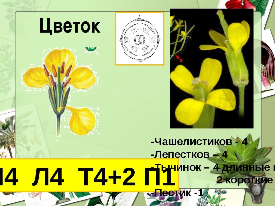 Цветок Ч4 Л4 Т4+2 П1 -Чашелистиков - 4 -Лепестков – 4 -Тычинок – 4 длинные и...