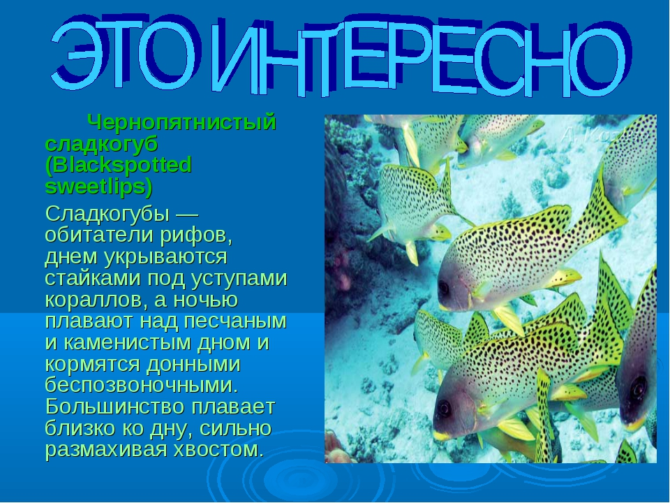 Чернопятнистый сладкогуб (Blackspotted sweetlips) 	Сладкогубы — обитатели р...