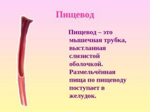 Пищевод Пищевод – это мышечная трубка, выстланная слизистой оболочкой. Размел