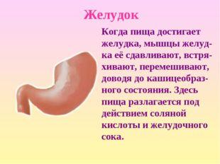 Желудок Когда пища достигает желудка, мышцы желуд-ка её сдавливают, встря-хив