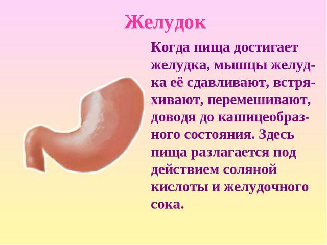Желудок Когда пища достигает желудка, мышцы желуд-ка её сдавливают, встря-хив...