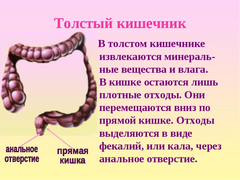 Толстый кишечник В толстом кишечнике извлекаются минераль-ные вещества и влаг...