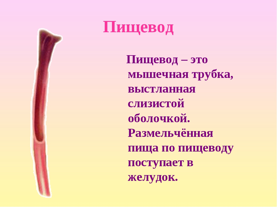 Пищевод Пищевод – это мышечная трубка, выстланная слизистой оболочкой. Размел...