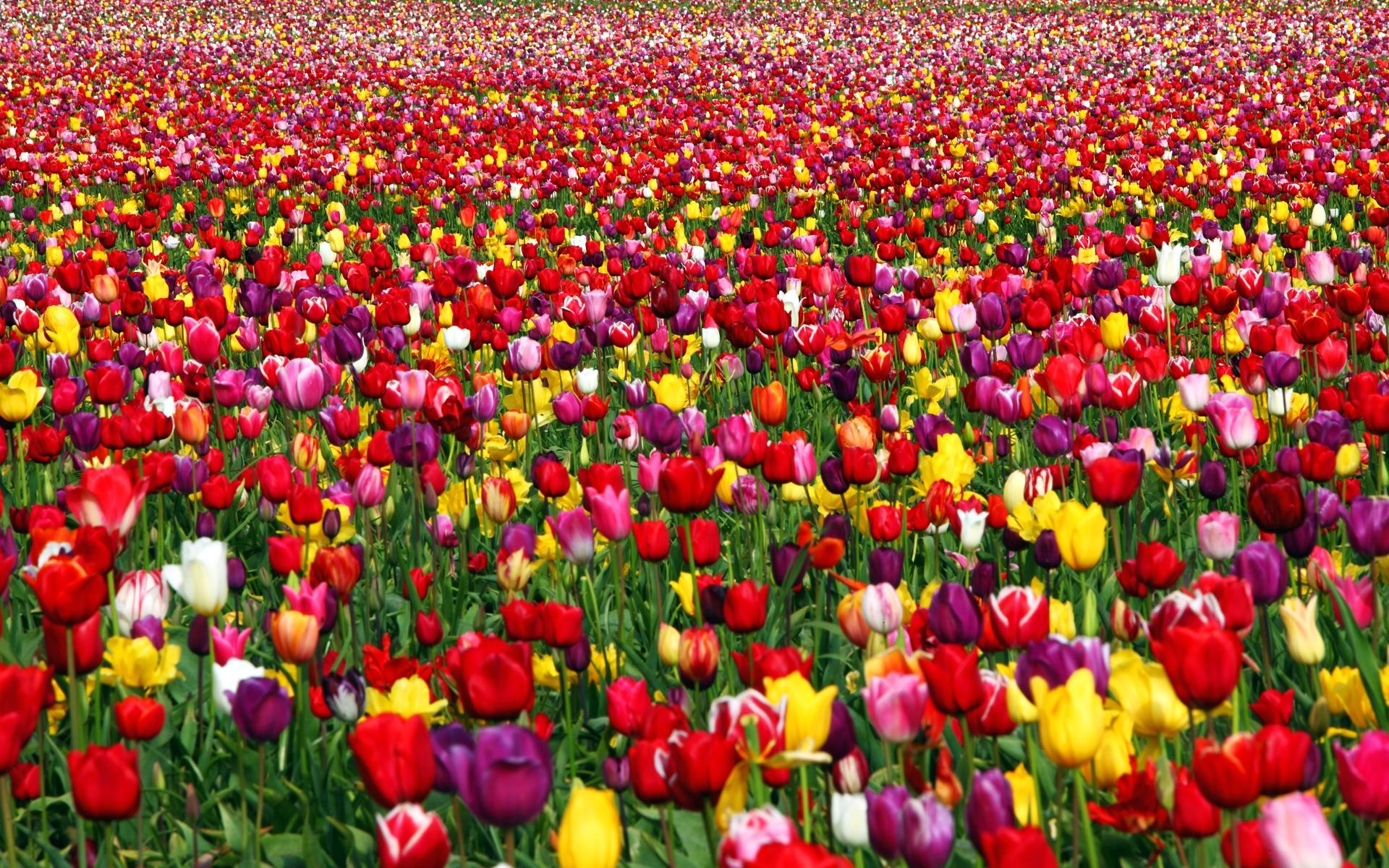 amazing carpet of tulips wallpaper.jpg