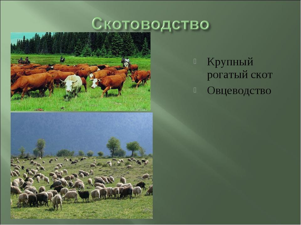 Крупный рогатый скот Овцеводство
