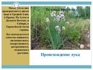 Происхождение лука Около 25о из них произрастают в диком виде в Средней Азии,