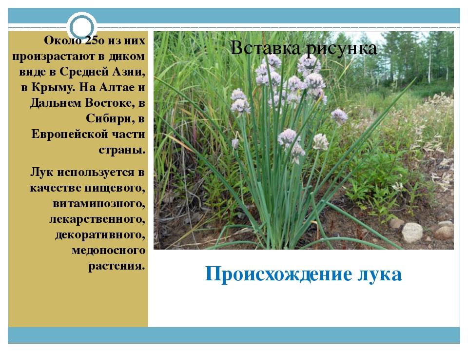 Происхождение лука Около 25о из них произрастают в диком виде в Средней Азии,...