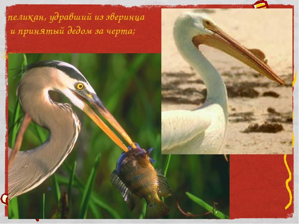 пеликан, удравший из зверинца и принятый дедом за черта;