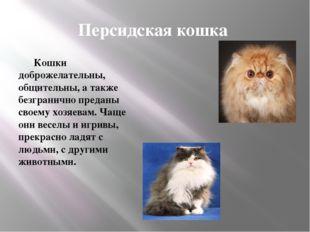Персидская кошка Кошки доброжелательны, общительны, а также безгранично преда