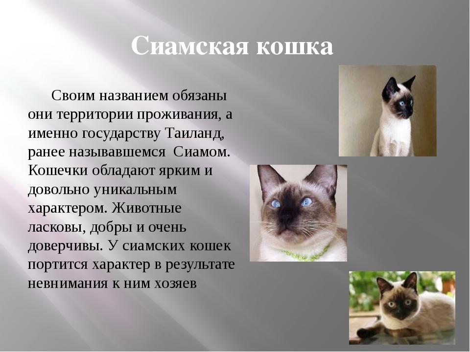 Сиамская кошка Своим названием обязаны они территории проживания, а именно г...