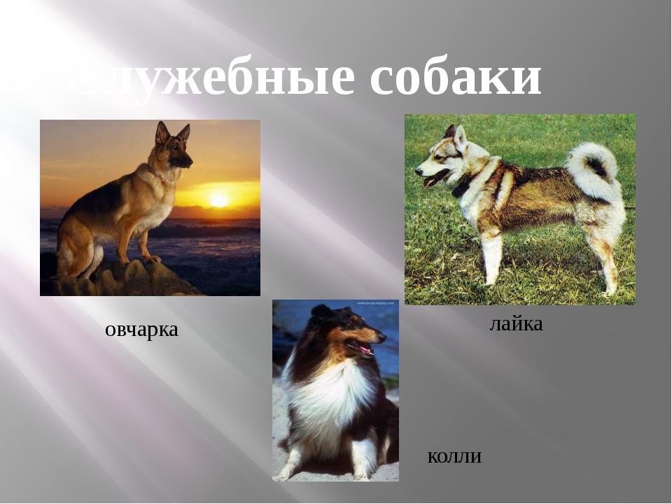 овчарка колли лайка Служебные собаки