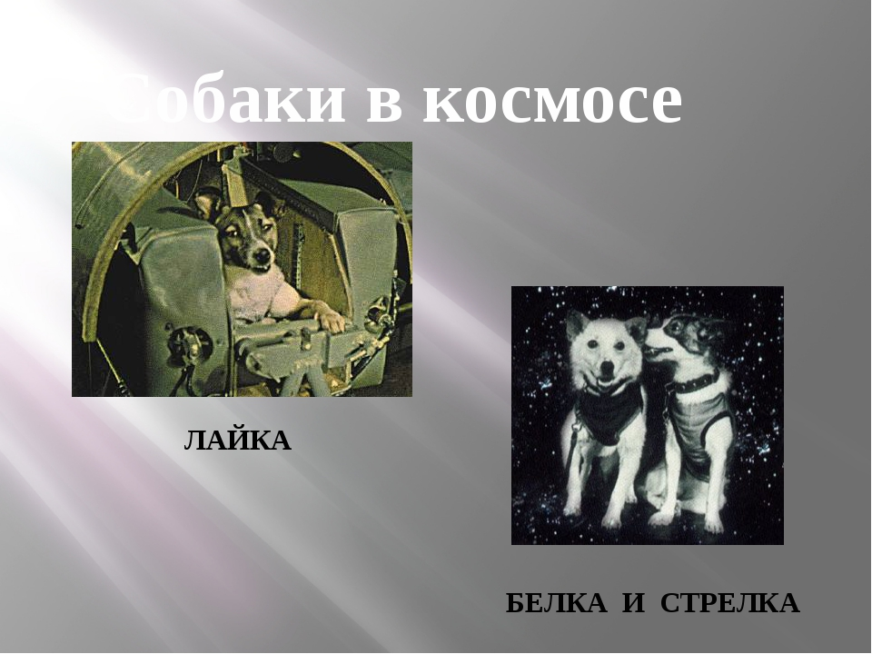 ЛАЙКА БЕЛКА И СТРЕЛКА Собаки в космосе