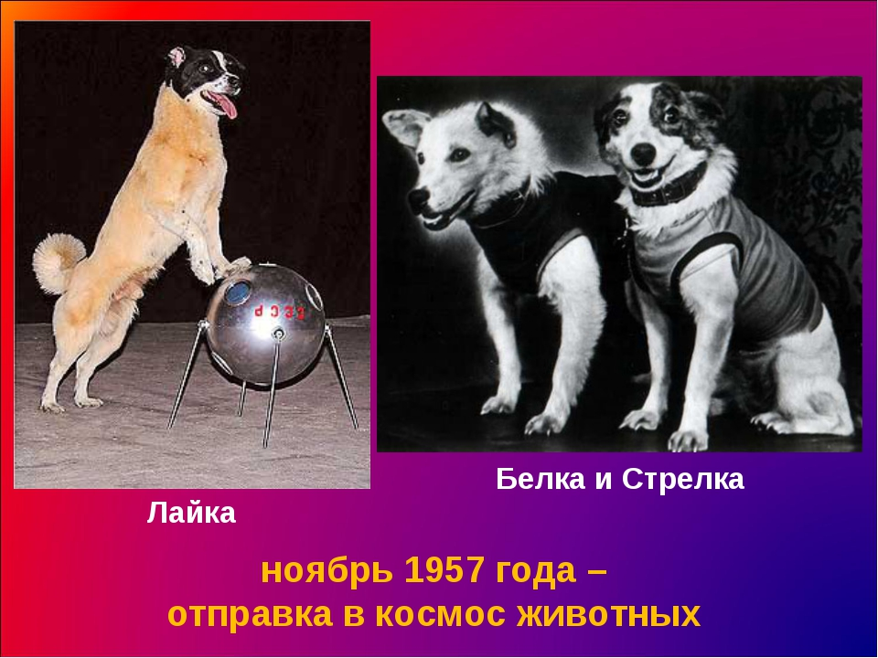 Лайка ноябрь 1957 года – отправка в космос животных Белка и Стрелка