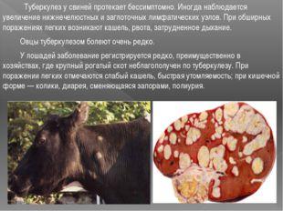 Туберкулез у свиней протекает бессимптомно. Иногда наблюдается увеличение ни