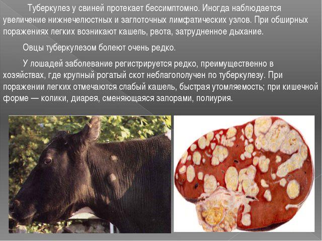 Туберкулез у свиней протекает бессимптомно. Иногда наблюдается увеличение ни...