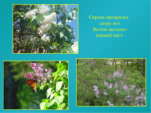 Сирень прекрасна, спору нет Весны дыханье- первый цвет.