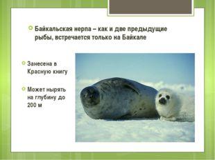 Байкальская нерпа – как и две предыдущие рыбы, встречается только на Байкале